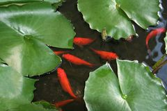 пусковые площадки лилии рыб стоковая фотография rf