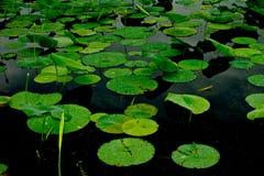 пусковые площадки лилии Стоковые Фото
