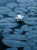 пусковые площадки лилии Стоковое фото RF