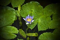 пусковые площадки лотоса лилии Стоковая Фотография