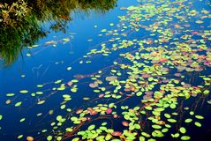 пусковые площадки лилии Стоковая Фотография RF