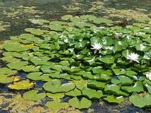 Пусковые площадки и жабы Lilly Стоковое Фото