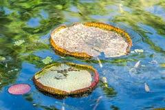 Пусковые площадки лилии - ботанический сад Рио-де-Жанейро, Бразилия Стоковые Изображения