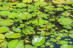 Пусковые площадки лилии - ботанический сад Рио-де-Жанейро, Бразилия Стоковые Фотографии RF