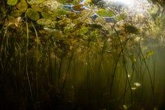Пусковые площадки лилии в озере Нов Стоковое Изображение