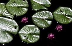 Пусковые площадки лилии в wtaer на зоопарке Стоковое Изображение RF