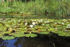 Пусковые площадки лилии - сады Tofino ботанические Стоковое Изображение