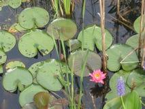 Пусковые площадки лилии с парой цветут Стоковое фото RF