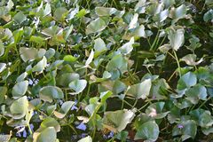 Пусковые площадки лилии Стоковые Фотографии RF
