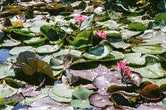 Пусковые площадки и цветеня лилии Стоковые Фотографии RF