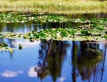 Пусковые площадки Lilly плавая на озеро горы Стоковые Изображения