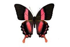 пустая бабочка книги цветастая расцветка смогла изолированная белизна версии малышей используемая страницами Стоковые Изображения