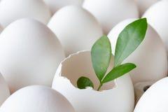 Пустая раковина яичка цыпленка с зеленым цветом выходит среди крупного плана белых яичек Стоковые Изображения RF