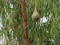 Пустое гнездо птицы ткача на банановом дереве в внешней ферме Стоковые Фото