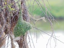 Пустое гнездо птицы ткача сделанное сухой травой или соломой на дереве в внешней ферме Стоковая Фотография RF