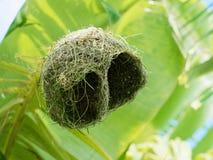 Пустое гнездо птицы ткача сделанное сухой травой или соломой на банановом дереве в внешней ферме Стоковое Изображение