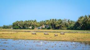 Пустое поле риса в Nha Trang, Вьетнаме Стоковое Фото