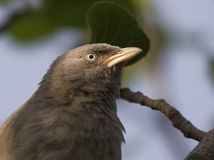 Пустозвон джунглей (Turdoides Striatus) Стоковое фото RF