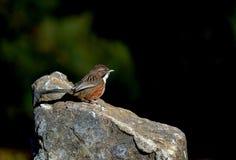 Пустозвон холма птиц Стоковая Фотография RF