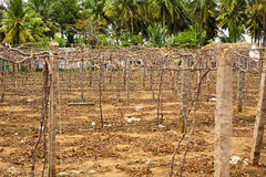 Пустой виноградник Стоковое Изображение RF