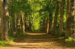 Пустой переулок старых деревьев на заходе солнца Стоковое Изображение RF
