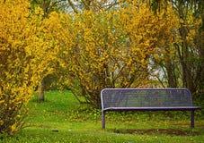Пустой стенд на парке с желтым forsythia цветет Стоковые Фото