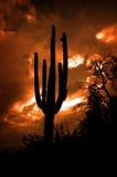 Пустыня Аризоны кактусов кактуса Saguaro Стоковые Фото