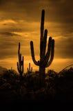 Пустыня Аризоны кактусов кактуса Saguaro Стоковые Изображения