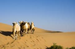 пустыня верблюда Стоковое фото RF