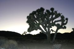 Пустыня Мохаве Brevifolia юкки утесов дерева Иешуа подъема утеса большая стоковое фото rf