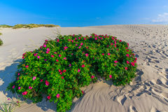 пустыня подняла Стоковое фото RF
