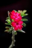 Пустыня Роза, лилия импалы, насмешливая азалия. Стоковое Изображение