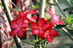 Пустыня Роза или импала Lil Стоковое Фото