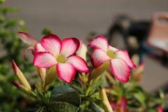 Пустыня Роза или лилия импалы Стоковые Фото