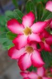 Пустыня Роза или лилия импалы стоковое фото