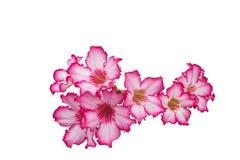 Пустыня Роза; Лилия импалы; Насмешливая азалия Стоковое Фото