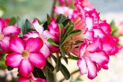 Пустыня Роза; Лилия импалы; Насмешливая азалия Стоковые Изображения RF
