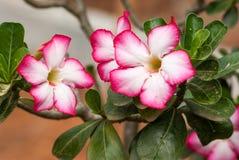 Пустыня Роза Стоковое Изображение RF