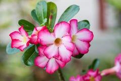 Пустыня Роза Стоковые Фото