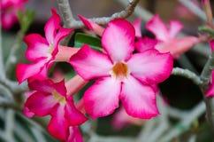Пустыня Роза Стоковые Изображения