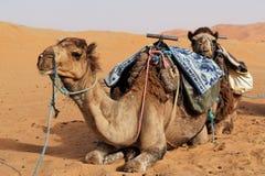 пустыня Сахара верблюдов Стоковое Фото