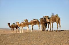 пустыня Сахара верблюдов Стоковое Изображение