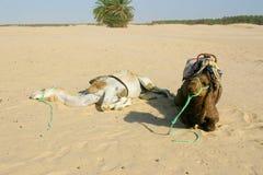 пустыня Сахара 2 верблюдов Стоковые Изображения