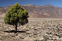 Пустыня сиротливого зеленого дерева скалистая Стоковые Фото