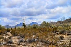 Пустыня Соноры giganteus cereus кактуса Saguaro Стоковое Изображение RF