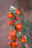 пустыня цветеня Стоковая Фотография RF