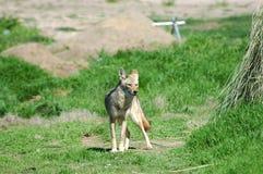пустыня 5 койотов Стоковое Фото
