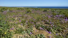 15-08-2017 пустыня Atacama, Чили Цветя пустыня 2017 Стоковое Изображение RF
