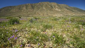 15-08-2017 пустыня Atacama, Чили Цветя пустыня 2017 Стоковое Фото