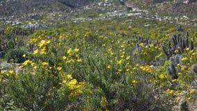 15-08-2017 пустыня Atacama, Чили Цветя пустыня 2017 Стоковая Фотография